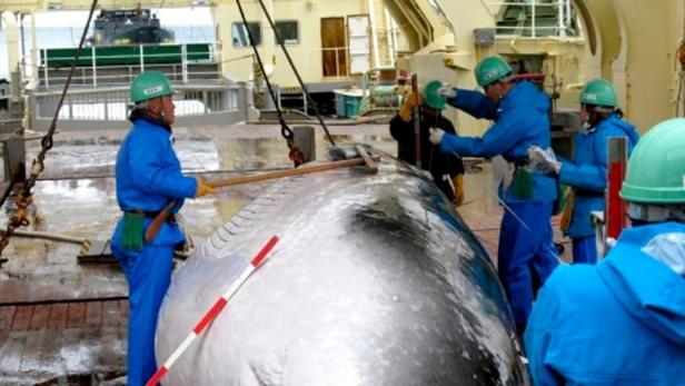 La Haya ordenó a Japón que suspenda la caza de ballenas