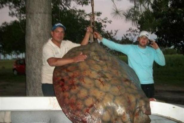 Pescaron en el Paraná una raya de 155 kilos